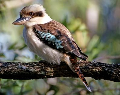Kookaburra, mijn favoriet